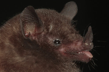 Peracchi's nectar bat (Lonchophylla peracchii). Photo credit: Ricardo Moratelli.