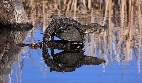 Tenho visto jacarés e tartarugas em lagoas juntos antes, mas nunca como estes! Eu estava em Bluebill Pond em Harris Neck National Wildlife Refuge (EUA) quando eu vi o que achei que fosse um jacaré tomando sol em um toco. Quando cheguei mais perto, percebi que ele estava empoleirado nas costas de uma tartaruga! (Foto: Mary Ellen Urbanski)