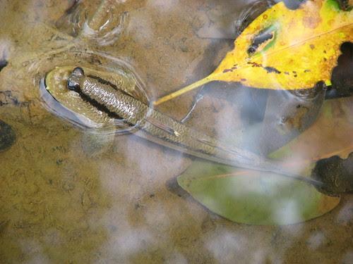 Giant Mudskipper