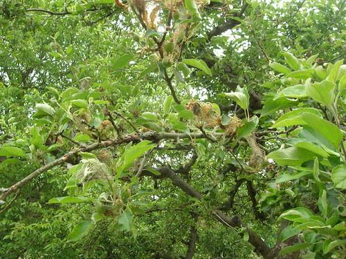 Raupengespinste Apfelbaum