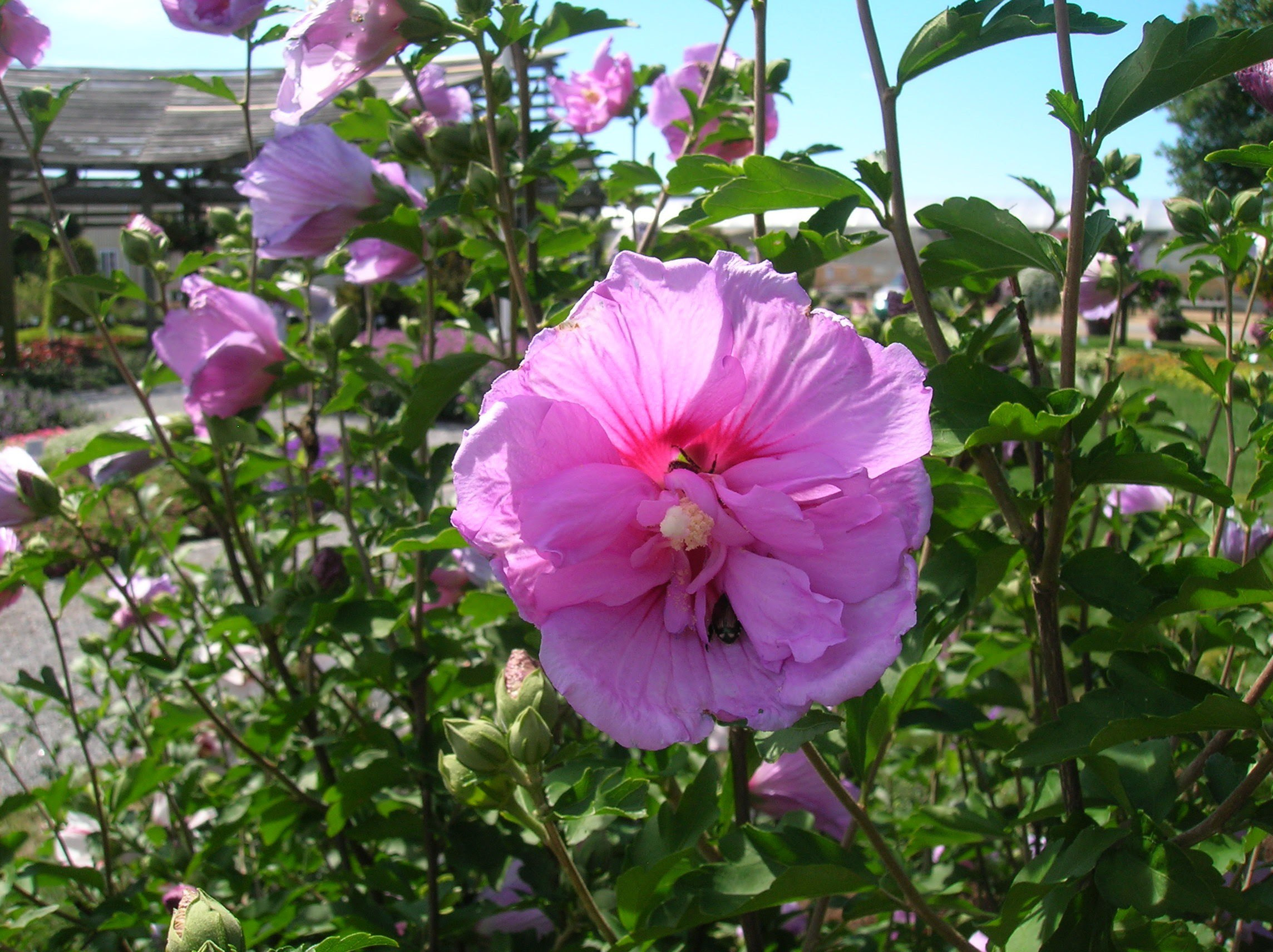 How To Grow Rose Of Sharon Growing And Caring For Rose Of Sharon