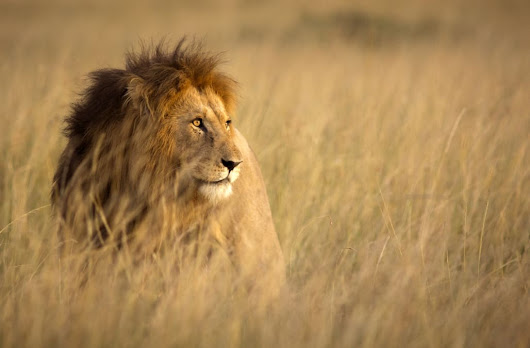 Poachers kill 2 lions who were recently freed from the circus