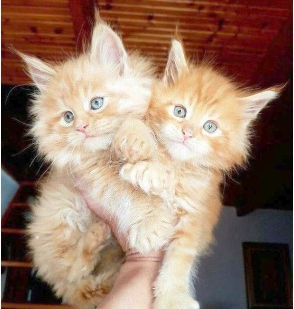 Adoption Free Kittens Craigslist - Kitten
