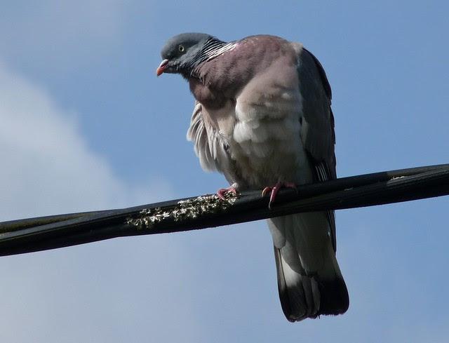 24198 - Wood Pigeon