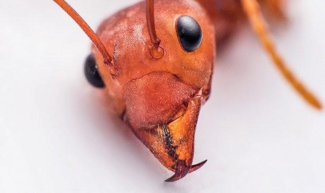 Ученые выяснили секрет прочности муравьиных челюстей – он заключается в цинковом покрытии