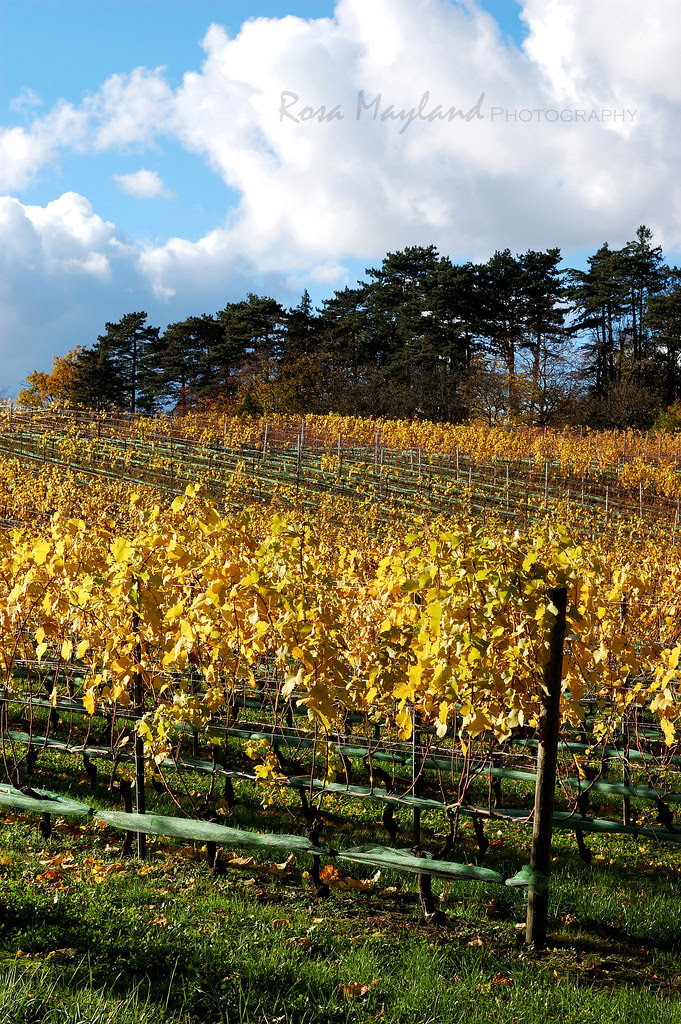 An Autumn Walk Through The Vineyards
