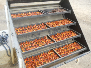 Nectarines on Solar Food Dehydrator
