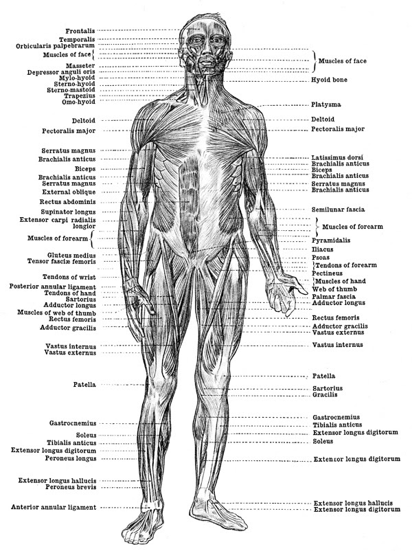 Anatomy Coloring Pages Muscles - Anatomy Drawing Diagram