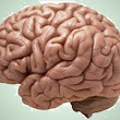 Interesting, Fun Brain Facts for Kids-Facts about the Brain with Images/Photos