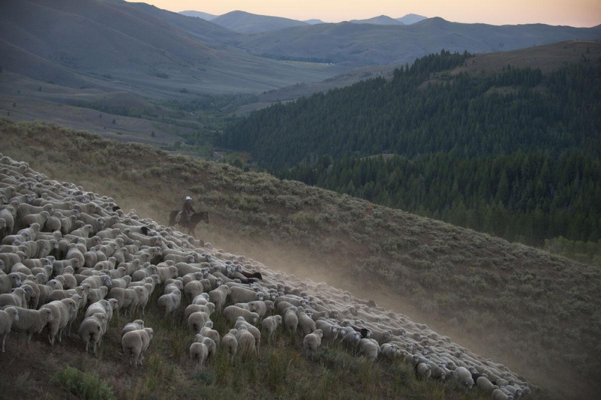 Conheça o Festival de Arrasto de Ovelhas 12