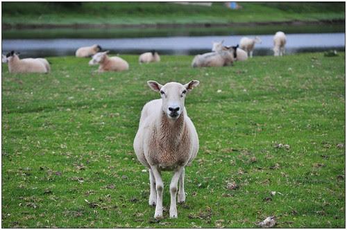 sco_sheep