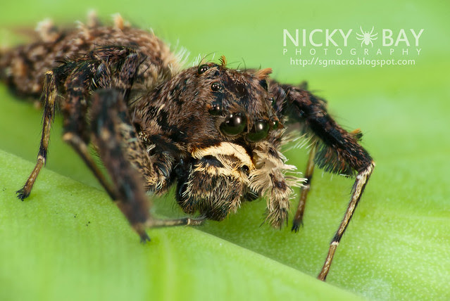 Jumping Spider (Portia sp.) - DSC_5725