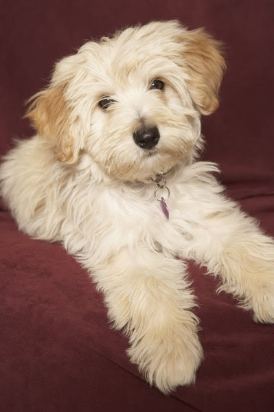 When Does a Havanese Stop Growing?  Pets