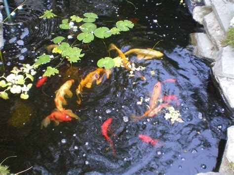 fish pond wallpapers  gallery