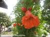 6.2 Pomegranate Blossoms 2