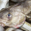 Scientists fear for cod stocks as study reveals there are 100 adult fish in the North Sea