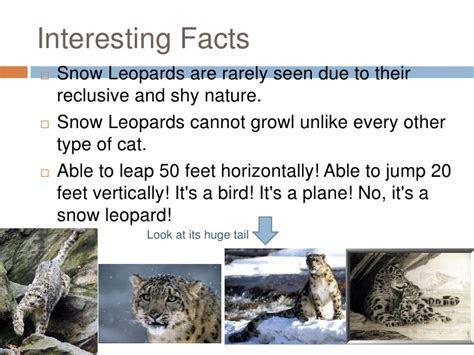 Snow leopards[1]
