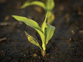 Área plantada de milho safrinha já chega a 80% em MT