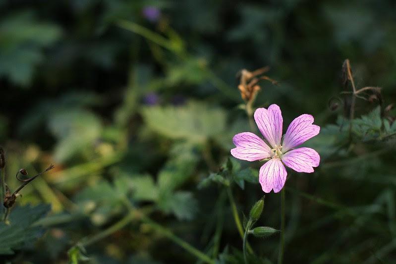 wild geranium in our backyard