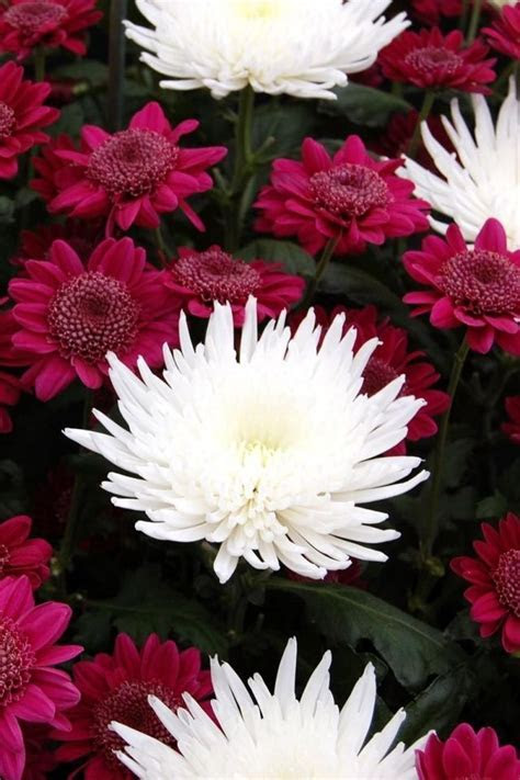 1000  ideas about Chrysanthemum Bouquet on Pinterest