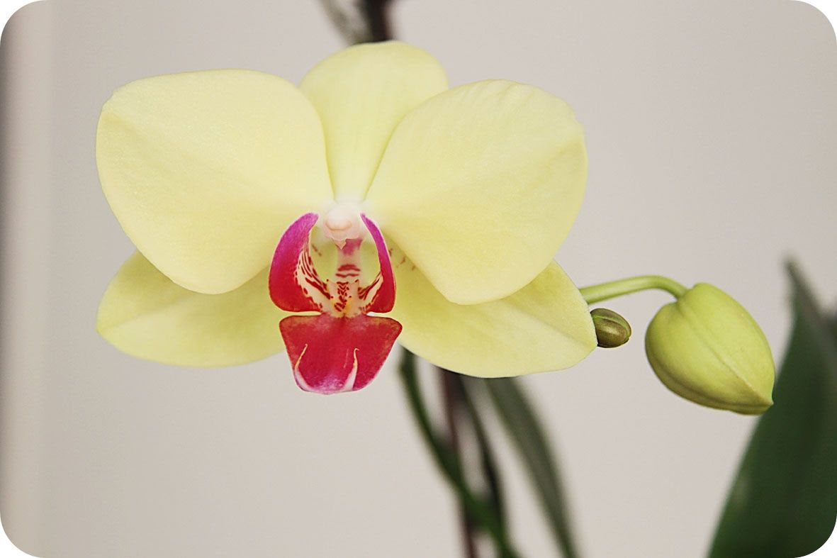 2.7, My orchid is finally blooming - I´m so happy!