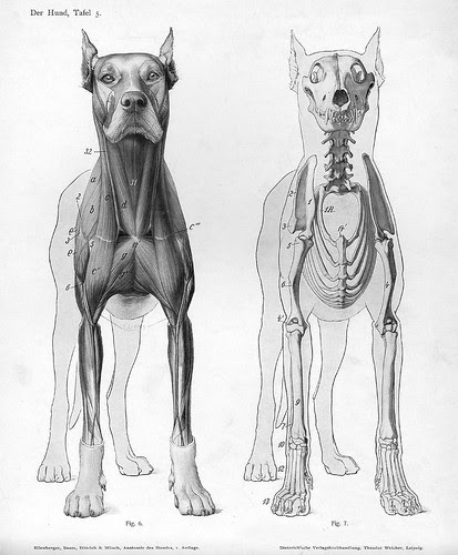 dog - 2 anterior views (anatomy)