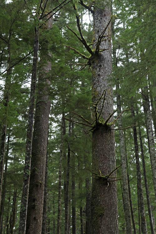 interesting tree growths, Kasaan, Alaska