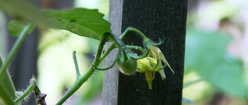 first baby tomato