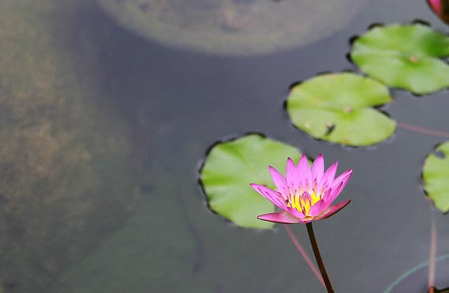 Hong Kong Park Lotus