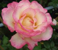 Rose Händel  Foto Brandt