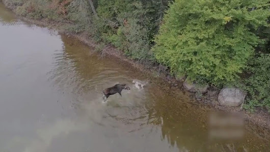 Moose Fights Off Wolf in Lake | Jukin Media