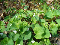 White violets, earlier this spring