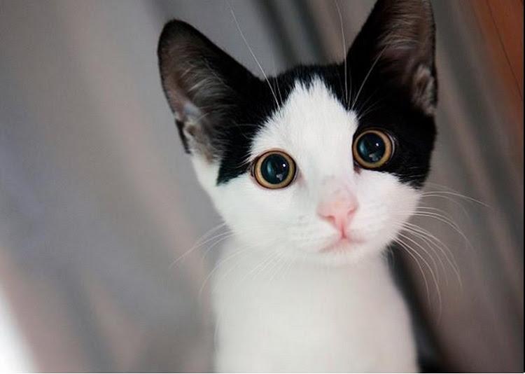 kucing selesema,minyak kelapa dara,
