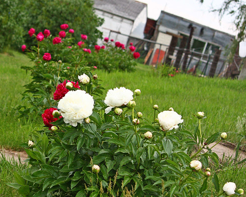 Early peonies