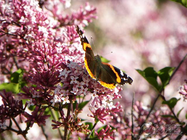 DSCN3402 Dwarf Korean Lilac blooms