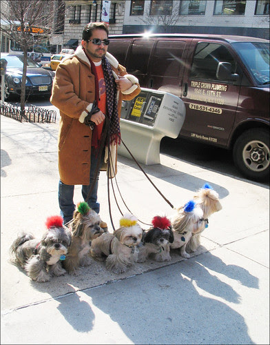 Man and Multiple Shih Tzus