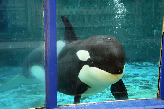 Dutch government again urged to act to free Morgan the orca - DutchNews.nl