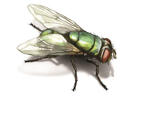 Green Bottle Fly: Get Rid of Green Bottle Flies in House
