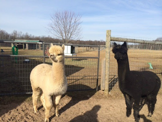 Alpaca Farms in New York State