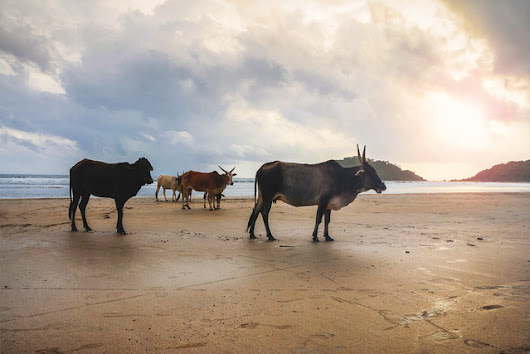 Magnificent herd of sacred cattle at the beach