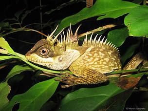 El dragón cornudo de árbol de Phuket, , Acanthosaura phuketensis