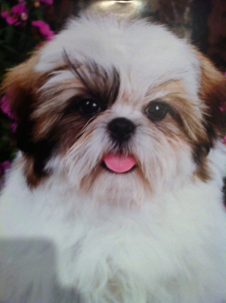 Shih Tzu Puppies For Sale In Eastern Cape South Africa