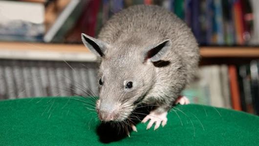 The world's largest rats are the size of small dogs