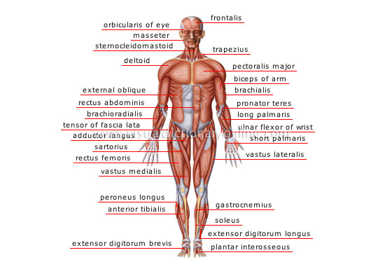 Human Being Anatomy Muscles Anterior View Image Visual Dictionary Online