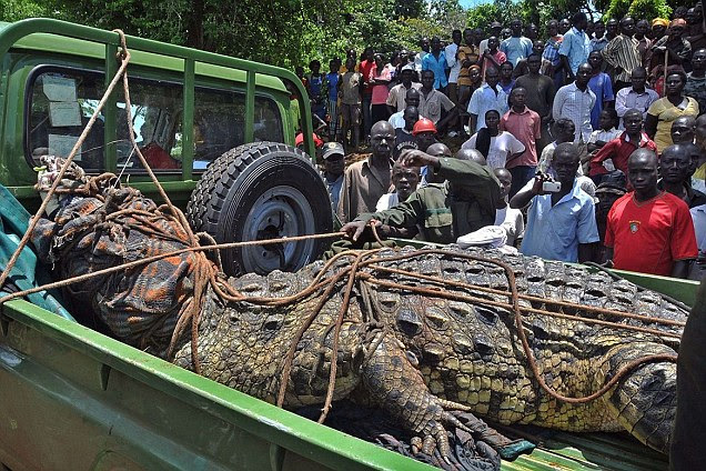 Locals from of the Kakira village, in eastern Uganda, gather to look at the enormous man-eating crocodile believed to have killed six people