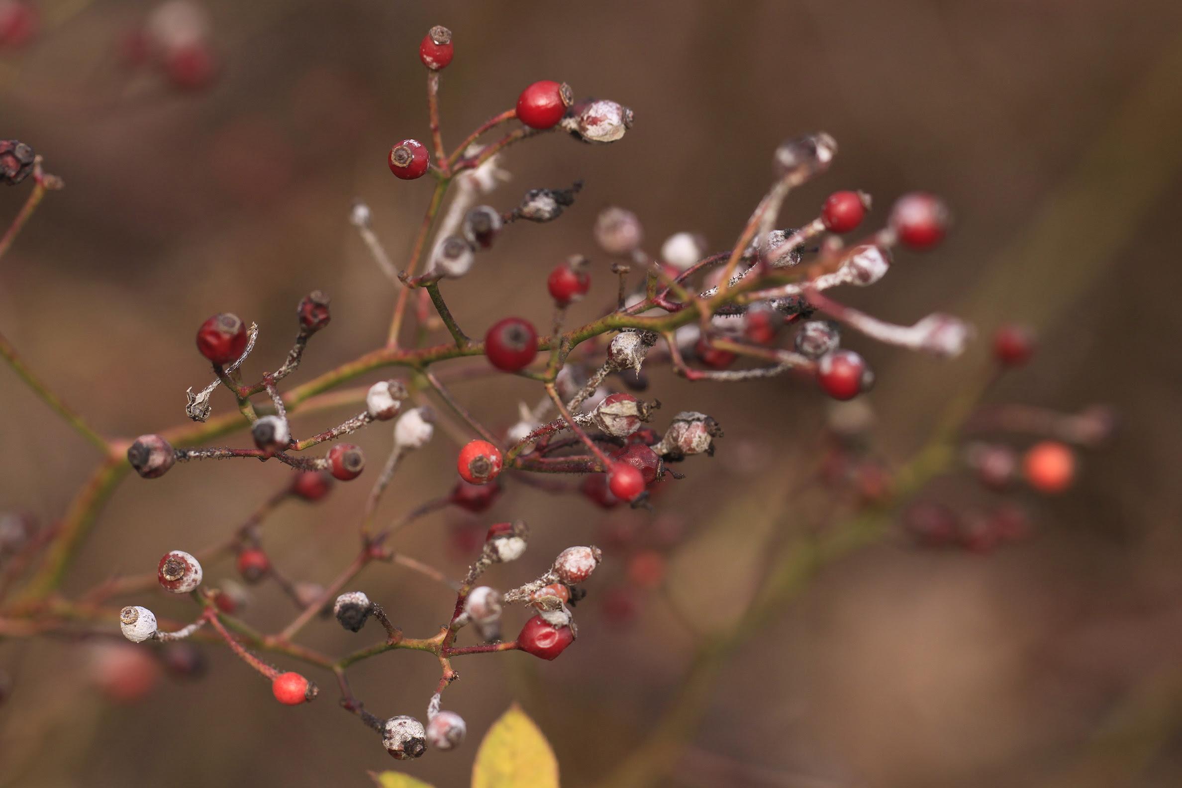tiny berries