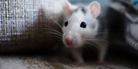 How to Get Rid of Mice in the House Fast - Best Way to Get Rid of Mice