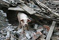 Il maiale che sopravvisse 36 giorni sotto le macerie dopo il sisma nel Sichuan