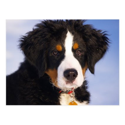 Bernese Mountain Dog - Cute Puppy Photo Post Card