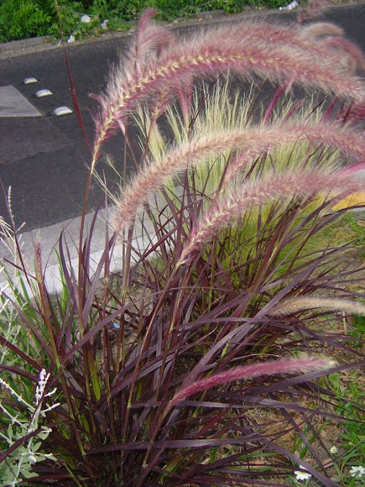 Growing Purple Fountain Grass – How To Take Care Of Purple Fountain Grass
